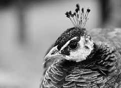 ein grauer tag in landau (saapirad) Tags: animals zoo tiere nikon grau weiss schwarz landau