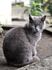 Gato gris ojos amarillos / Grey cat yellow eyes (jm.trujo) Tags: naturaleza cats nature animals gatos animales gatogrisojosamarillos greycatyelloweyes