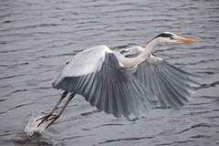 Take Off..........Grey Heron (VCD.) Tags: bird heron grey off take grayheron featherfriday