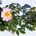 "Rosa canina L., Rosaceae • <a style=""font-size:0.8em;"" href=""http://www.flickr.com/photos/62152544@N00/6596770291/"" target=""_blank"">View on Flickr</a>"