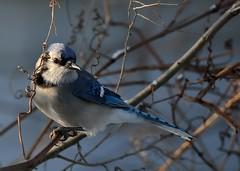 Winter Bluejay (Tyr-Sog) Tags: winter bird michigan bluejay throughwindow nikond7000 nikonnikkor300mmf4ifedaf