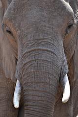 Gigante pela própria natureza (Diógenes Araújo) Tags: africa trip wild elephant nature southafrica close natureza gray selva pachyderm safari viagem cinza krugerpark kruger elefante presas áfricadosul paquiderme duetos