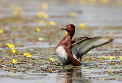 Ferruginous Duck (Aythya nyroca) in the Biharugra Fishponds Hungary Photo Credit - Gabor Simay.preview