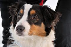 Diana (LellaViola) Tags: dog chien pet snow cane trekking australiano neve alto trentino pastore adige camminachetipassa lellaviola