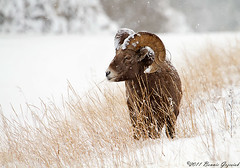 Rocky Mountain Bighorn Sheep  3962 (Bonnieg2010) Tags: snow sheep alberta bighornsheep longgrass rockymountainbighornsheep rockymountainsheep mygearandme bonniegrzesiak