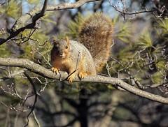 Cute Chubby One (btn1131 www.needGod.com) Tags: winter nature animals squirrel olympus epl1 mygearandme