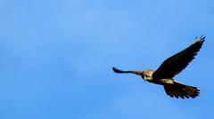 Guardo giù (Michele -) Tags: birds bentivoglio larizza