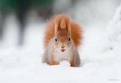 Cheese! (csabatokolyi) Tags: park winter snow squirrel budapest margitsziget sciurusvulgaris mokus nikkor300mm28afsvr
