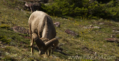 "Bighorn Sheep • <a style=""font-size:0.8em;"" href=""http://www.flickr.com/photos/63501323@N07/6690725833/"" target=""_blank"">View on Flickr</a>"