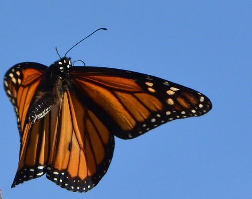 Monarch butterflies flying away - photo#5