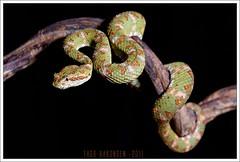 Bothriechis schlegelii (Thor Hakonsen) Tags: reptile snake poison viper venomous venom reptilia serpentes squamata viperidae bothriechisschlegelii eyelashviper
