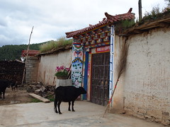 un veau qui fixe une porte peinte (evnta) Tags: china fanny shangrila yunnan virela virela2 virela3 virela4 virela5 virela6 virela7 virela8 virela9 virela10