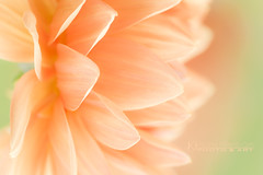 Peach Dahlia (Chrisseee) Tags: dahlia orange flower canon soft pastel smooth peach petal dreamy lightgreen kristiinahillerstrm chrisseee
