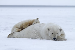 """Eisbären, Arctic National Wildlife Refuge, Alaska (6) • <a style=""""font-size:0.8em;"""" href=""""http://www.flickr.com/photos/73418017@N07/6730319203/"""" target=""""_blank"""">View on Flickr</a>"""