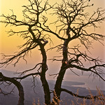 Twin trees, Peloponnese