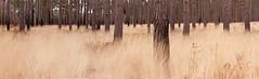 Swinley Forest #7 (Guy Aubertin) Tags: workinprogress swinley