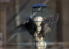 PAIR OF MALE STARLINGS (Shaun's Wildlife Images....) Tags: birds starlings shaund