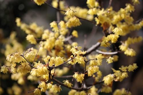 冬の花・ロウバイ