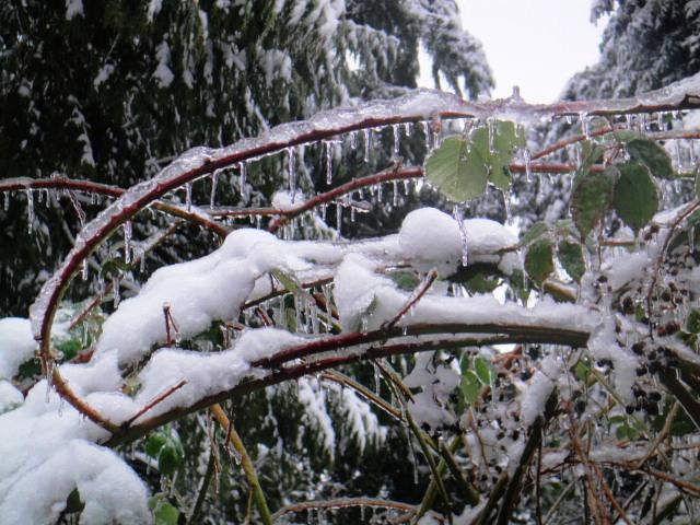 Frozen Blackberry Bushes