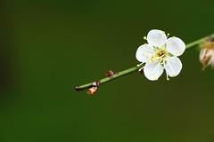 IMG_6054 (Sandor's Album) Tags: flowers flower blossom plum hsinchu taiwan       nationaltsinghuauniversity drmeimemorialgarden