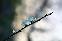 IMG_6254 (Sandor's Album) Tags: flowers flower blossom plum hsinchu taiwan       nationaltsinghuauniversity drmeimemorialgarden