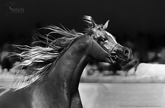 Al Khalediah Arabian Horse Festival 2012 | Explore (saleh alghasham || iBnghasham.com) Tags: horse al sony arabian alpha 77 2012 a77 saleh  sal70200g khalediah festival  alghasham a77v