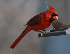 Mr Red at the feeder - Male Northern Cardinal - Glenola in Randolph County North Carolina (fazer53) Tags: bird nature birds photography nikon d70 wildlife photographers northcarolina carolina ornithology asheboro northerncardinal d70nikon randolphcounty archdale 70300mmvr photographersshowcase glenola fazer53