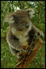 Koala Bear, Near Eumundi, Queensland, Australia (ROGERBEE.) Tags: animals bears australia queensland australiananimals eumundi koalabears