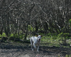 IMG_2497 (TrotlineDesigns (Ron Joseph) In The Glades) Tags: dog white lake english pointer florida south hound canine albino liver k9 amputee okeechobee clewiston knine