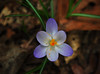 A Happy Thought (BKHagar *Kim*) Tags: white flower green leaves al warm purple alabama january crocus athens bloom pollen elkriver toowarm unseasonablywarm limestonecounty riversong happythought bkhagar