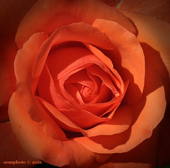May your day be as beautiful as this rose... (oomphoto) Tags: summer orange flower macro rose tangerine petals bright sharp vignette nikond90 nikonnikkorafsvrmicro105f28gifed