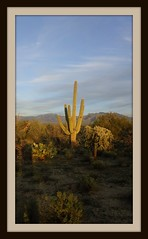 In The Desert (desertwatercolors) Tags: tucson saguaro dwc azcacti