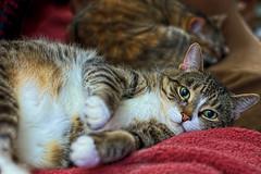 Just Woken (Light Echoes) Tags: nikon d90 hdr winter cat chat kot gatto feline pet katze kat kalo gato gate gat animal ta moggy pudge lucy nap catnap 고양이 貓 猫 γάτα