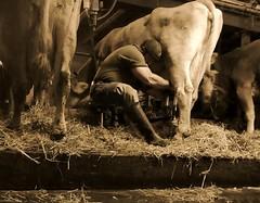 I am what I am: a happy milker (Farmerbaer) Tags: rural buff sturdy rubberboots rugged gummistiefel brawny landleben robust farmhand melker kuhstall melken milker stocky stallarbeit stallknecht melkstuhl swissfarmer schweizerbauer