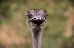 Look me in the eye and tell me you don't find me attractive (sydbad) Tags: park travel color bird eye me nature look birds animals canon fun photography zoo photo funny asia you tell ostrich dont attractive di 70300mm tamron vc find usd f456 eos60d
