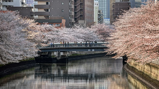 Full bloom cherry blossoms at Ohyokogawa River on Tomoebashi Bridge (大横川の桜と巴橋)