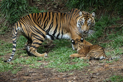 Mom Gets Frisky (Penny Hyde) Tags: cub tiger bigcat sumatrantiger safaripark tigercub babyanimal