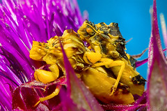 Teamed Up For The Hunt (raypainter) Tags: flowers autumn macro fall nature canon outdoors wildlife thistle hunting insects location predator teamwork ambushbug ef100mm scotttucker lafayettecolorado coalcreektrail eos70d hbbbt