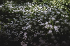 If you don't know... (evahgrf) Tags: flowers shadow summer plants white plant flower green nature grass forest canon germany outside spring focus bokeh 14 adventure explore 500d freelensing evahgrf