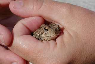 one common toad