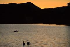 Swanset (Luke6876) Tags: sunset mountain bird water animal swan wildlife blackswan australianwildlife tenterfield