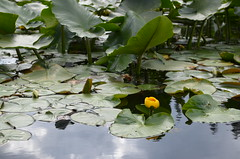 DSC_3164 (Archangel Azrael) Tags: water lily lilies pads lilypond