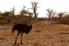 Avestruz.jpg (bbbluephoto) Tags: africa avestruz animales senegal dakar reserva gambel