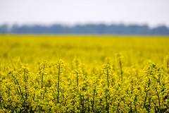 Scoulton Rapeseed Crop (Neal_T) Tags: uk flowers sunset sky field yellow clouds spring fuji farming norfolk norwich oil fujifilm wayland rapeseed watton xt1 rapeseedoil scoulton
