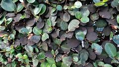 Anglų lietuvių žodynas. Žodis carissa macrocarpa reiškia <li>Carissa macrocarpa</li> lietuviškai.