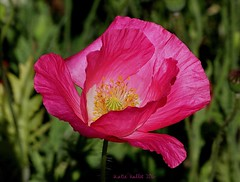 4-17-16 (8) Have a Lovely Weekend Dear Friends!! (KatieKal) Tags: california pink macro sunshine spring windy poppy canonmacrolens canon60d