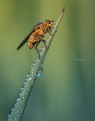 Water drop ladder (Ingeborg Ruyken) Tags: morning macro green grass insect fly spring waterdrop flickr groen may gras mei lente dropbox ochtend vlieg 2016 grashalm empel waterdruppel strontvlieg natuurfotografie yellowdungfly empelsedijk 500pxs 2016lente