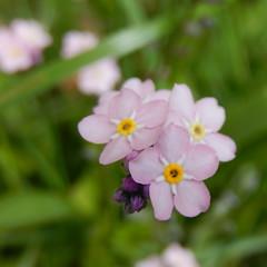 (Landanna) Tags: pink flower nature rose natur natuur blomst bloem lyserd