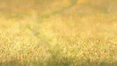 2016 Boynes - Meadow Path (Birm) Tags: morning wild flower green field grass foot dawn orchids bokeh path sony meadow through buttercups greenwinged boynes worcestershirewildlifetrust