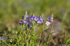 IMG_0016 (fb.photo123) Tags: france nature fleur aude languedoc flore palaja montrafet herbiernumeriquedemontrafet
